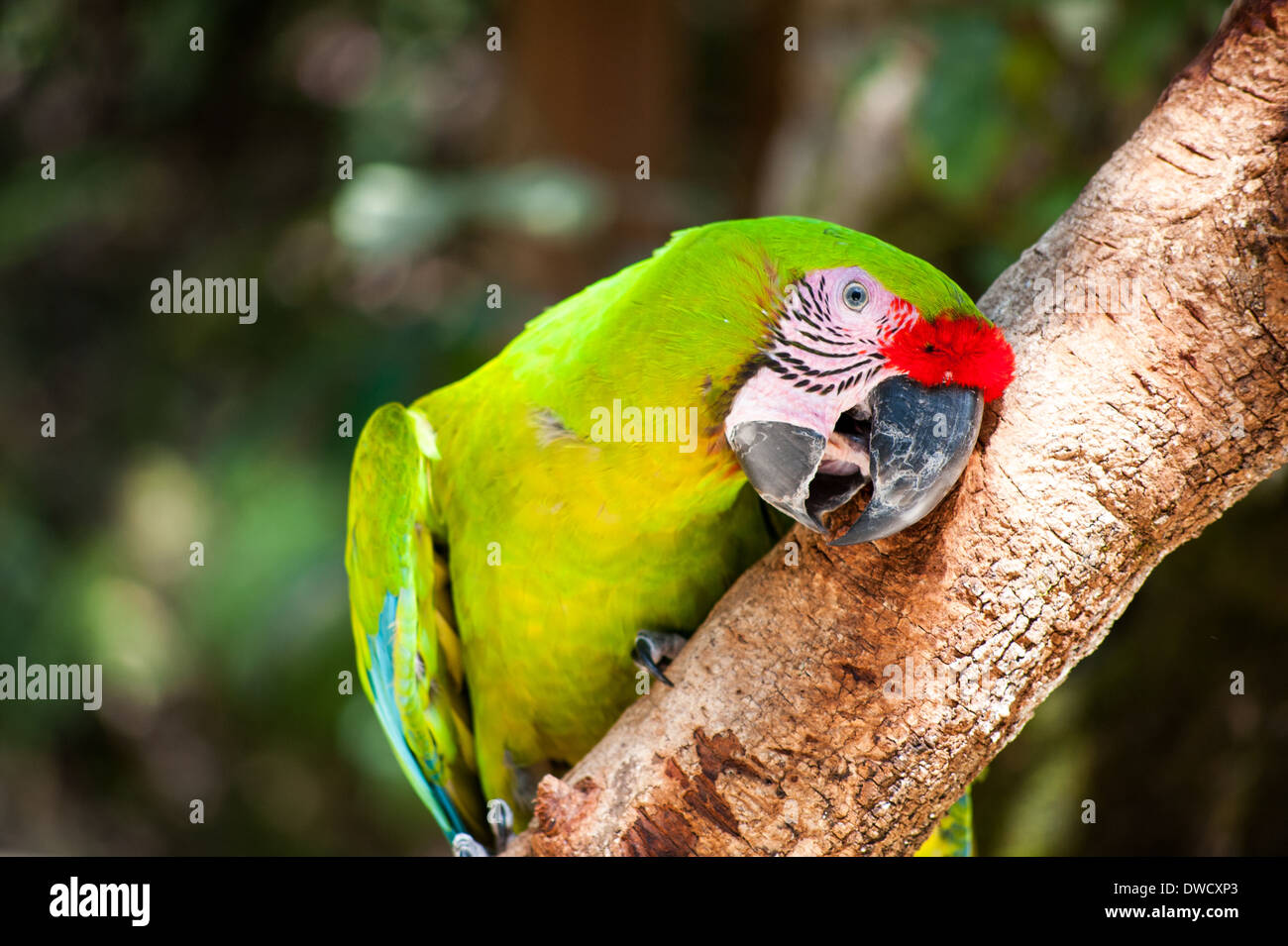 A Great Green Macaw in Honduras - Stock Image