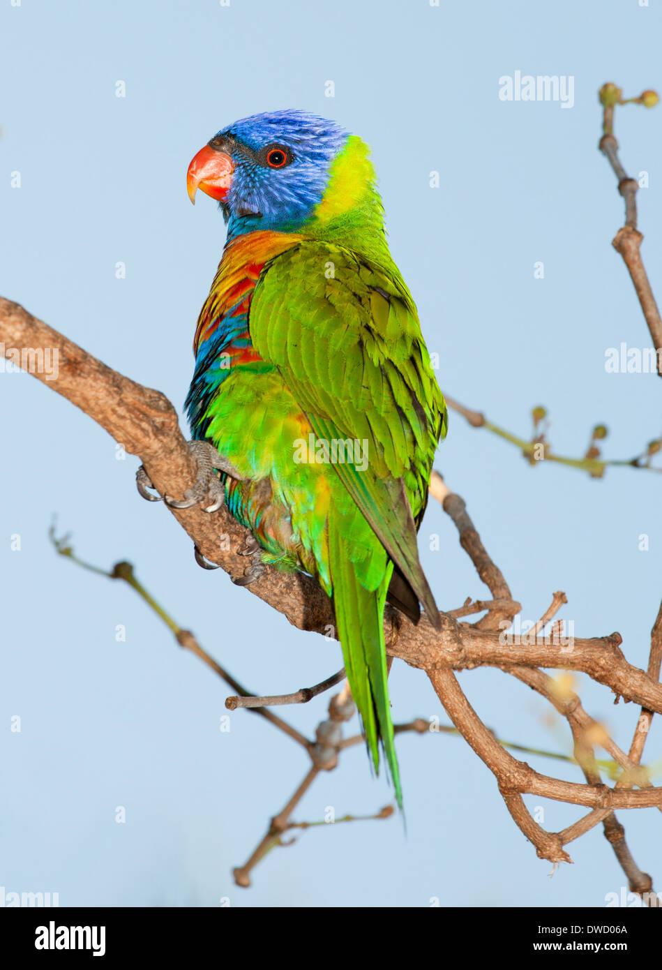 common native parrot the lorikeet, often kept as pets, noisy and cheeky Stock Photo