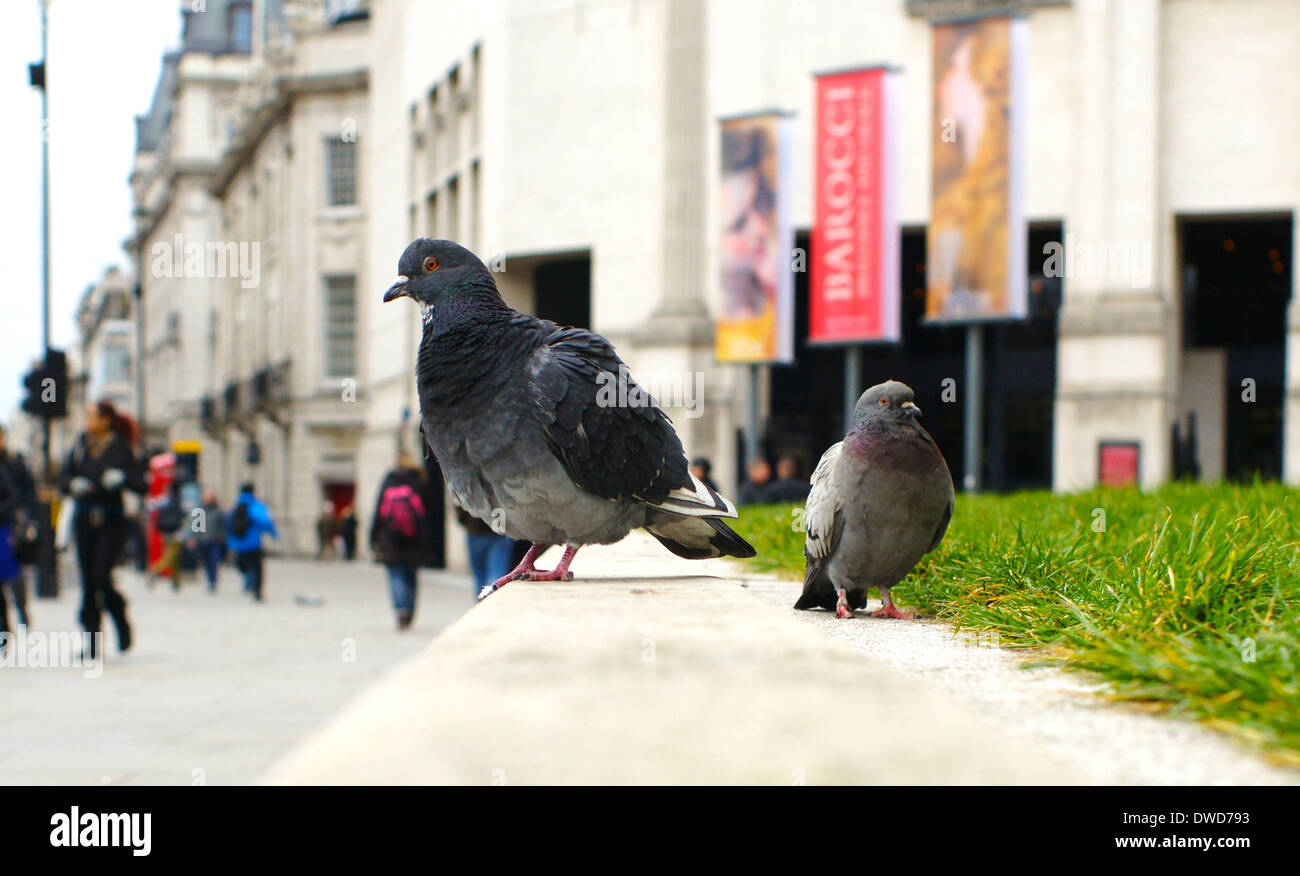 pigeons on the National gallery wall in Trafalgar square watching the people go past - Stock Image