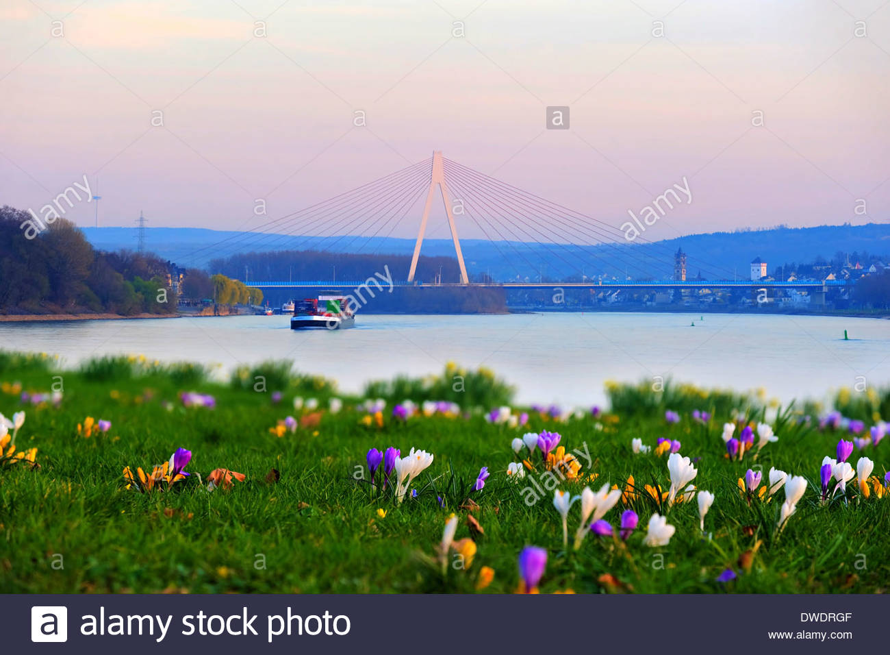 Germany, Rhineland-Palatinate, Neuwied, Raiffeisen bridge, Weissenthurm, Rhine river, meadow with crocuses in spring - Stock Image