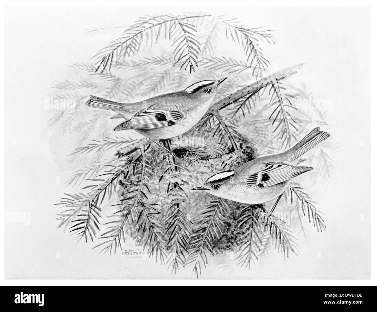 Golden Crested Wren - Stock Image