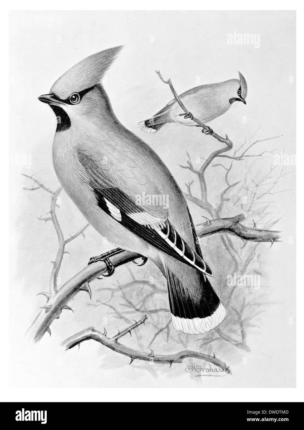 Waxwing Bombycilla garrulus passerines - Stock Image