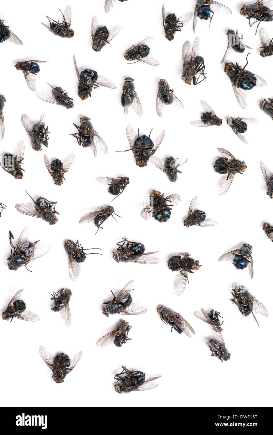 Close-up of a group of dead flies in front of white background - Stock Image