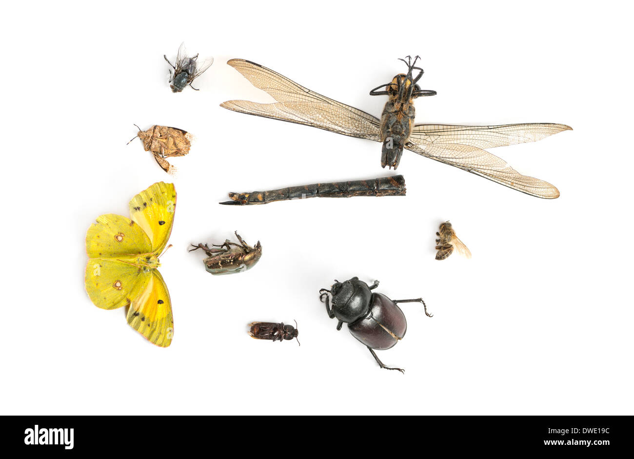 Composition with dead insects in front of white background - Stock Image