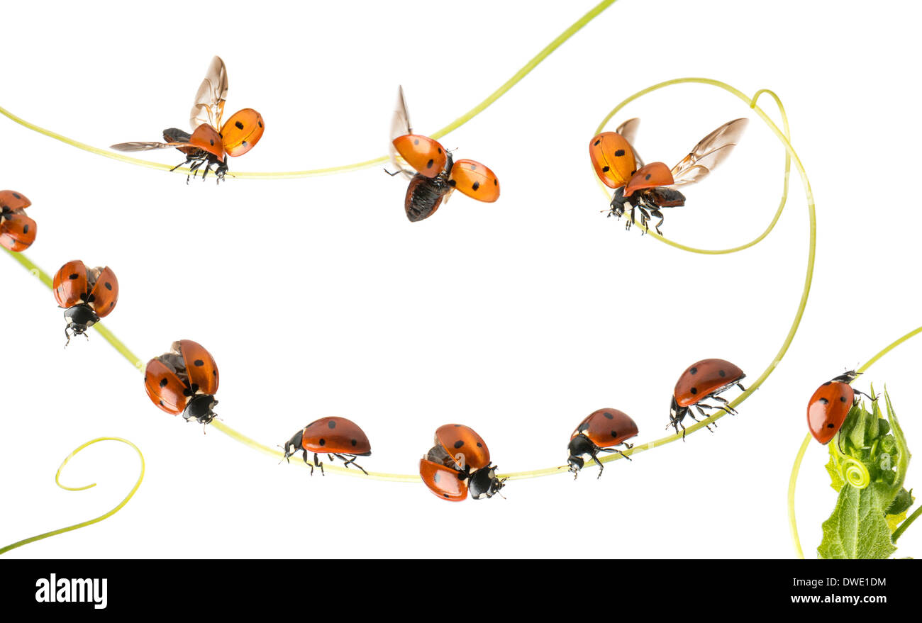 Group of Ladybirds landed on a plant and flying in front of white background - Stock Image
