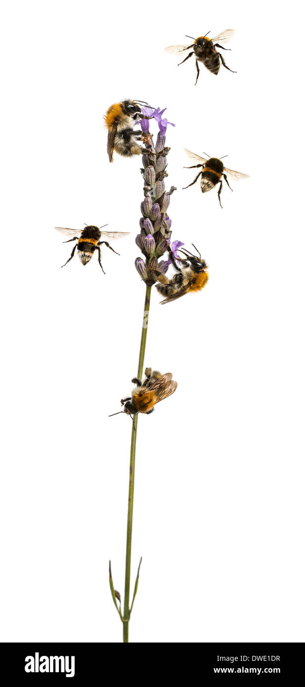 Group of European bees and buff-tailed bumblebee flying around a flowering plant, on white background - Stock Image
