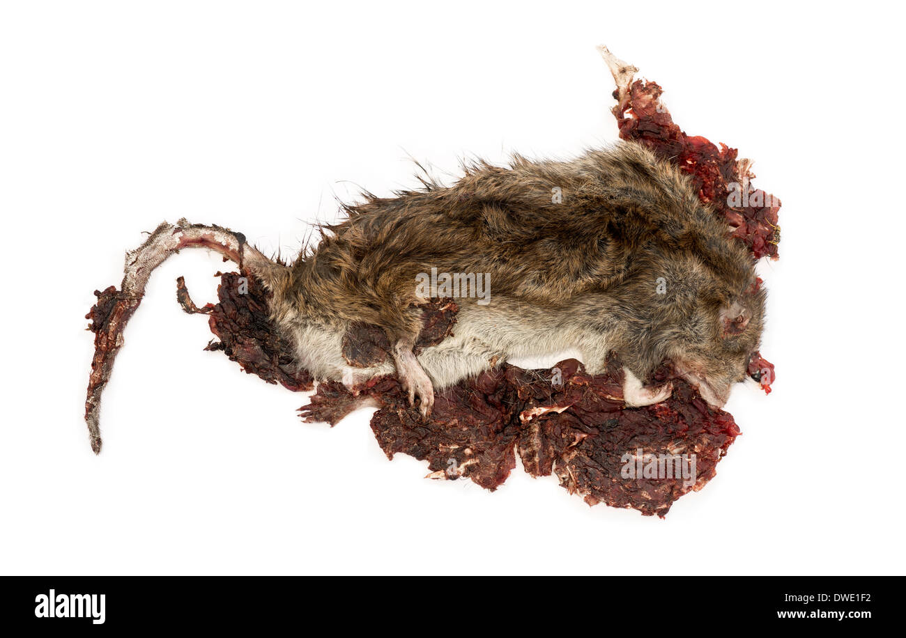Roadkill Street rat in state of decomposition, Rattus norvegicus, in front of white background Stock Photo
