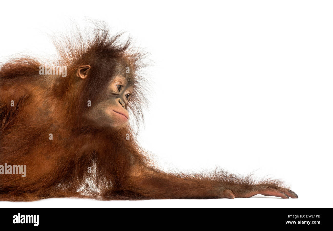 Side view of a young Bornean orangutan leaning on its arm, Pongo pygmaeus, 18 months old, against white background - Stock Image