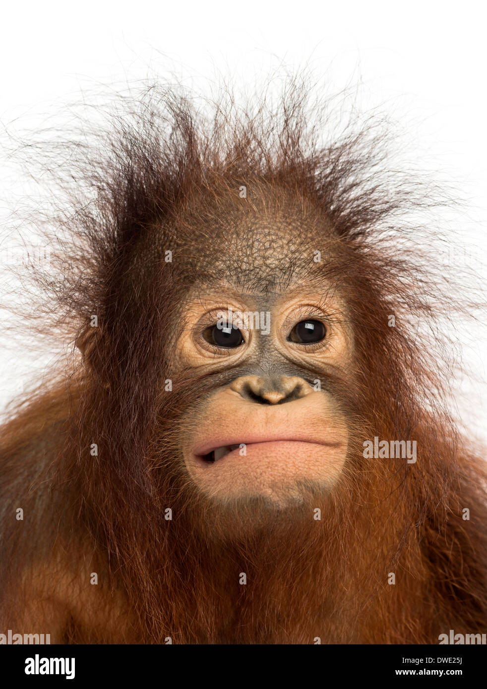 Close-up of a young Bornean orangutan making a face, Pongo pygmaeus, 18 months old, against white background - Stock Image