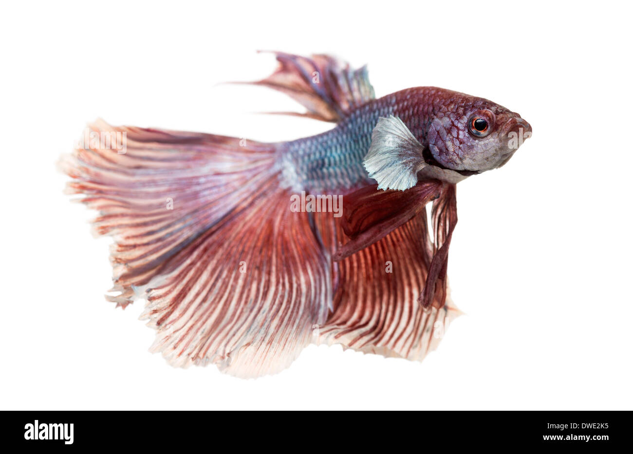 Side view of a Siamese fighting fish, Betta splendens, against white background - Stock Image