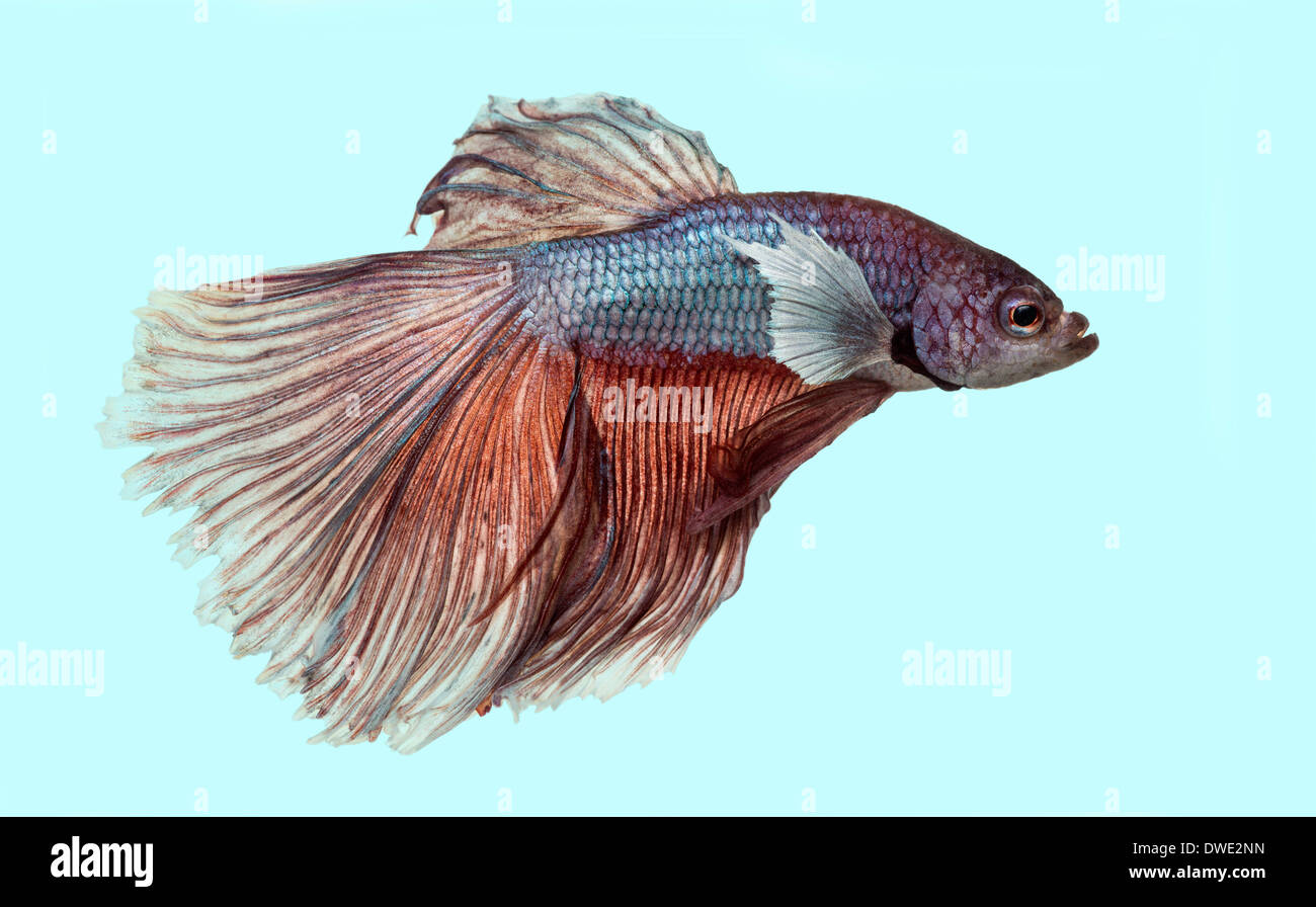 Side view of a Siamese fighting fish, Betta splendens, on a blue background - Stock Image