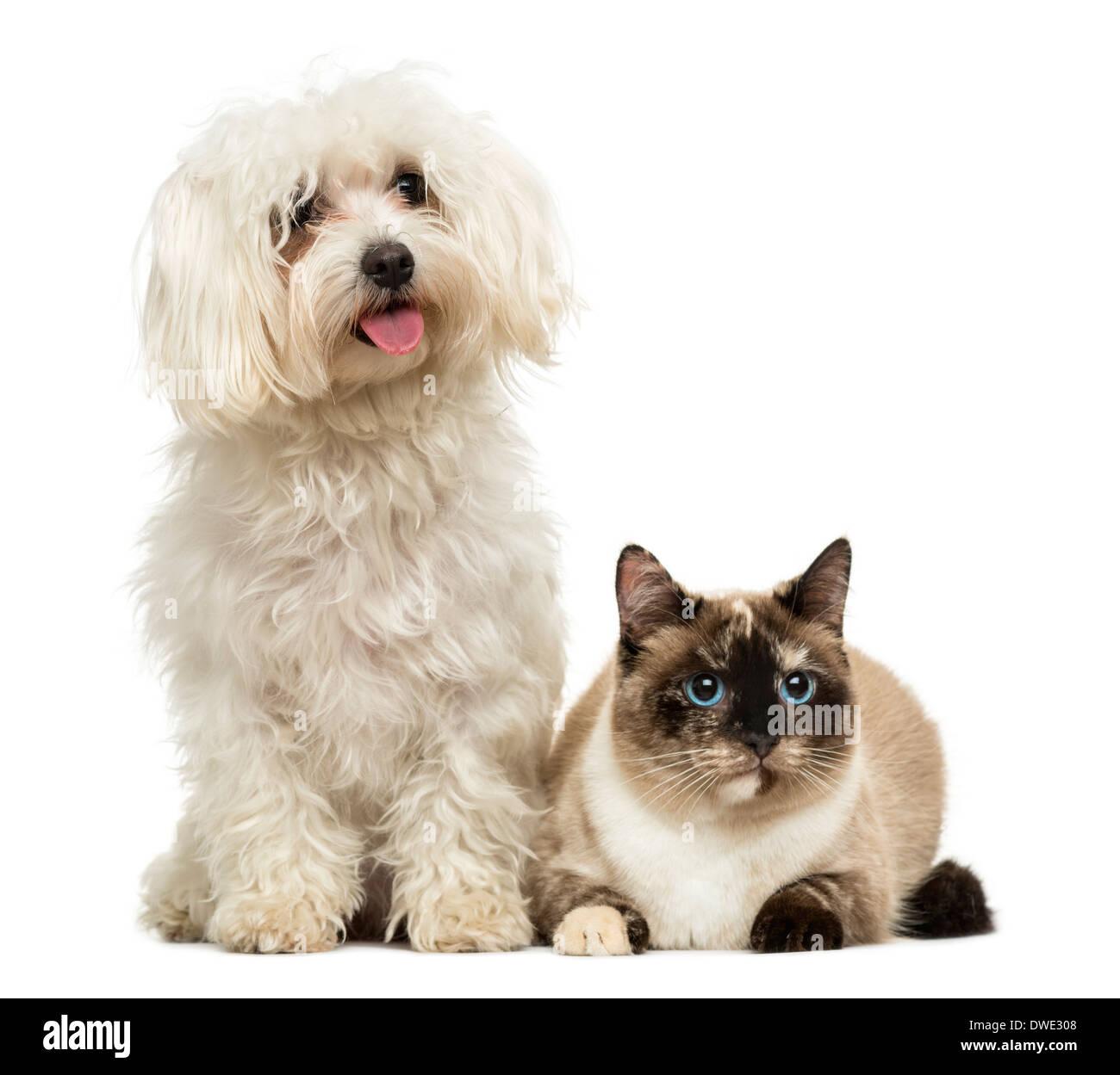 Maltese panting and Birman cat against white background - Stock Image