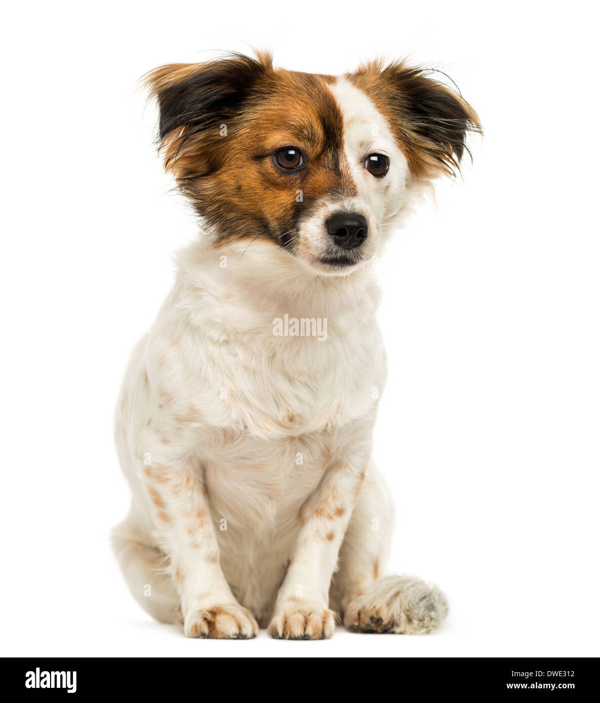 Crossbreed dog sitting, 2 years old, against white background Stock Photo