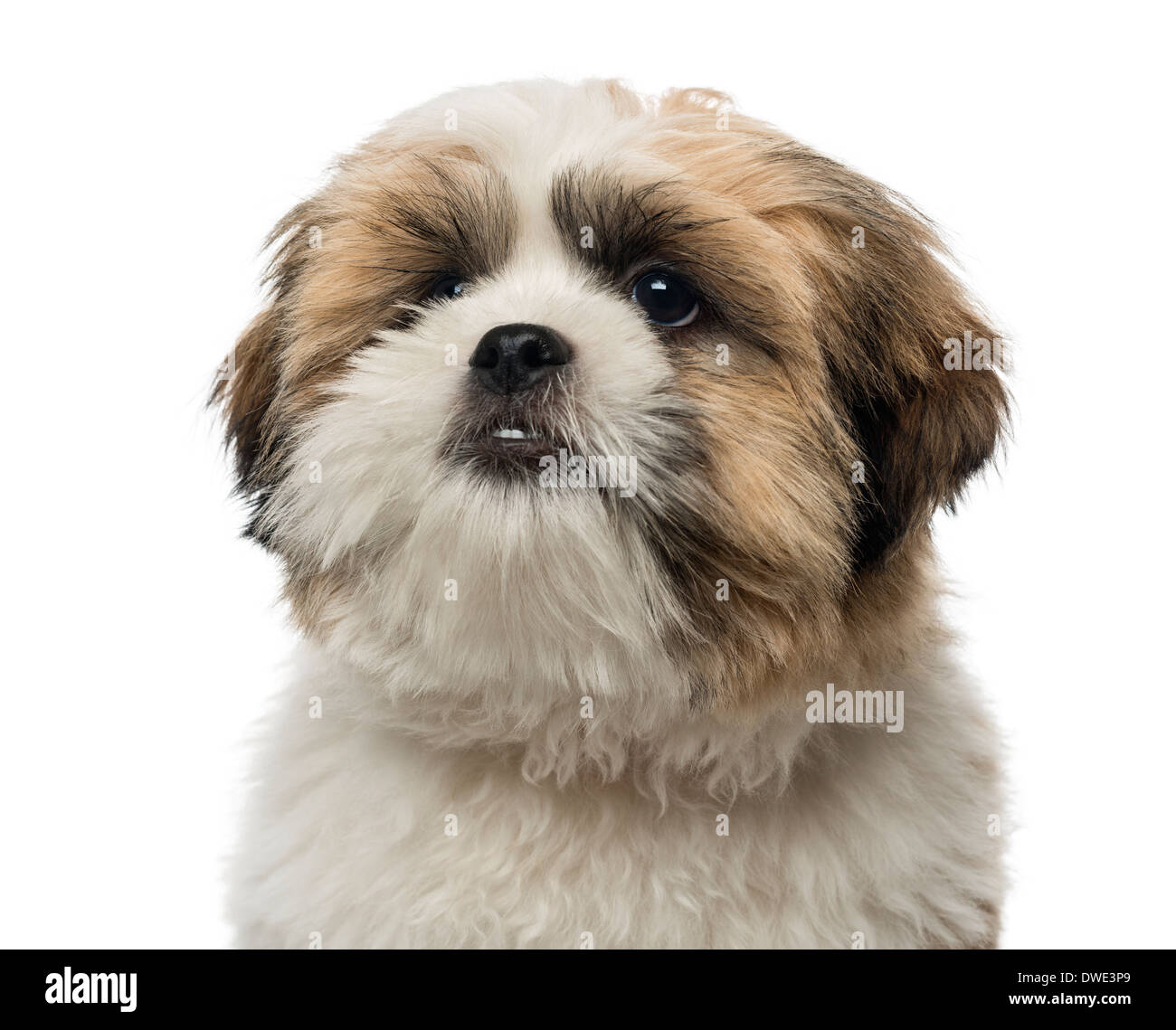 Cute Shih Tzu Puppy Alone Stock Photos Cute Shih Tzu Puppy Alone