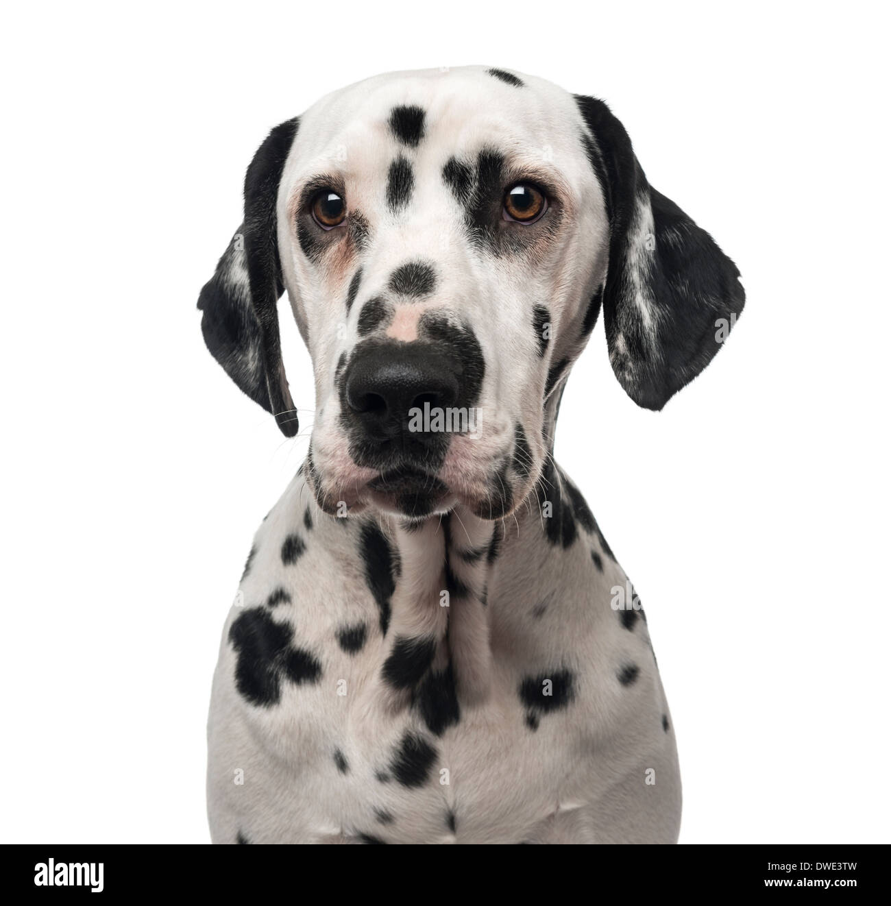 Close-up of a Dalmatian, 1 year old, against white background - Stock Image