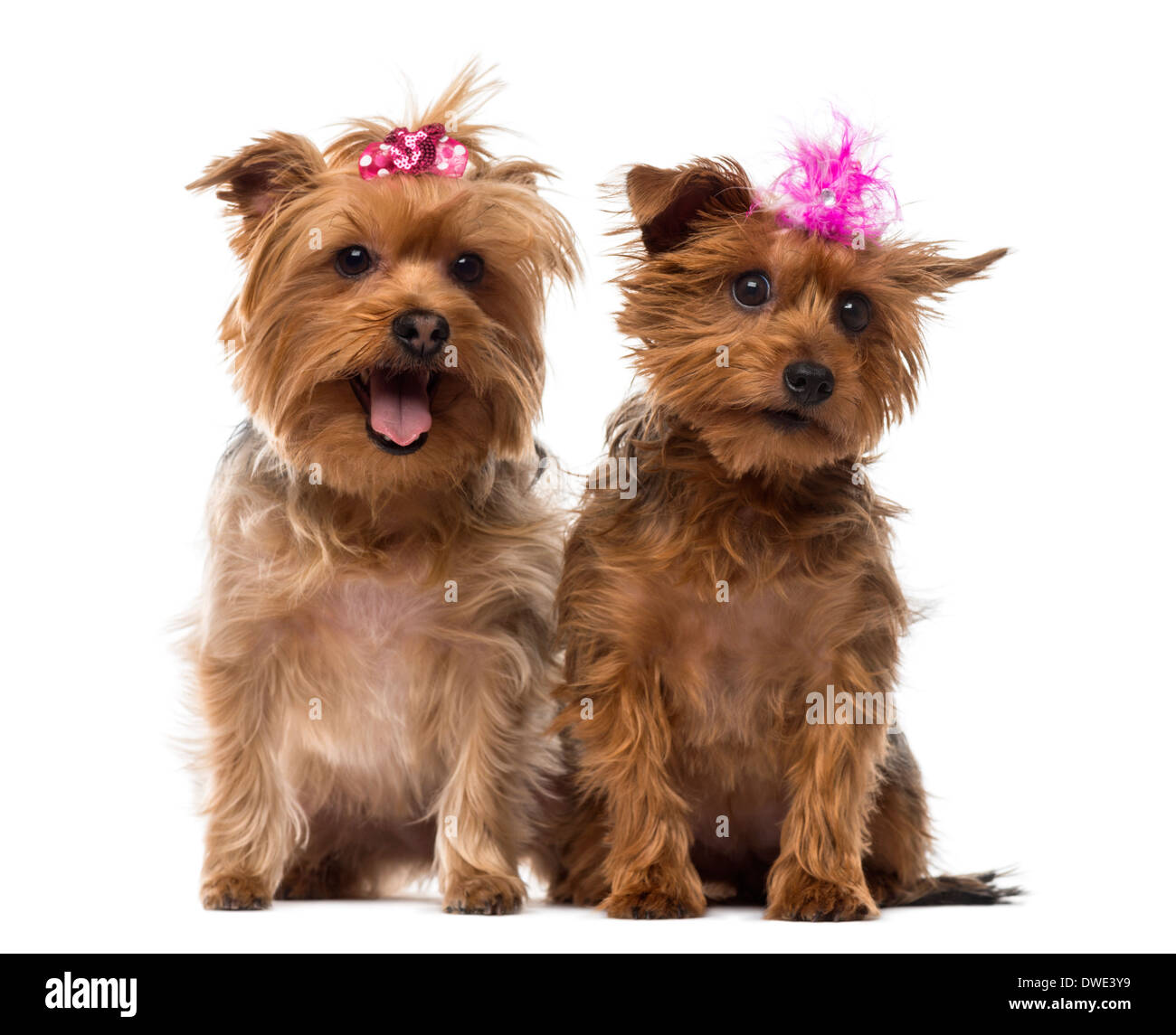 Two Yorkshire Terrier wearing bows, panting, sitting against white background - Stock Image