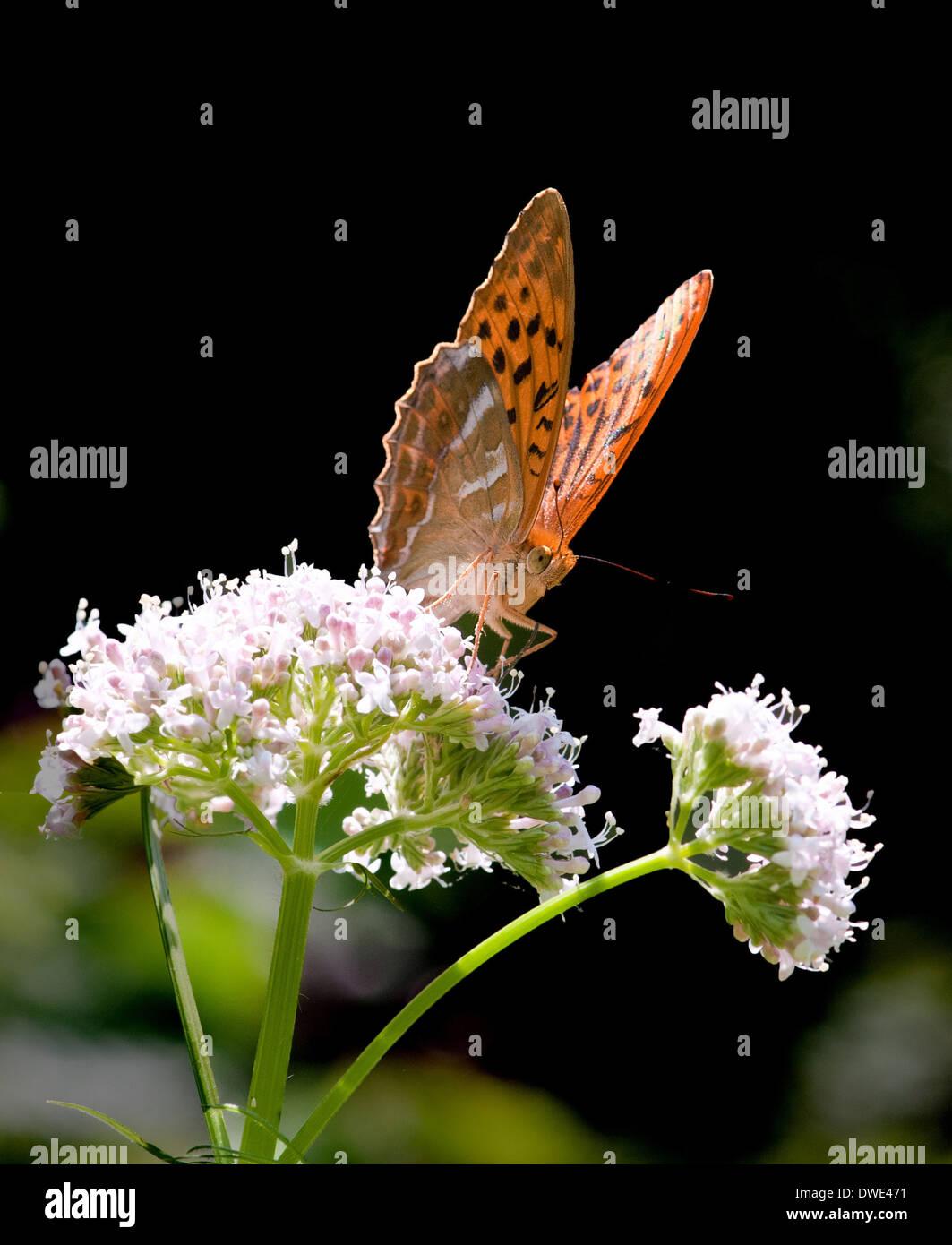Silver-washed Fritillary Argynnis paphia feeding on Common Valerian flower photo in Dorset  Argynnis paphia - Stock Image