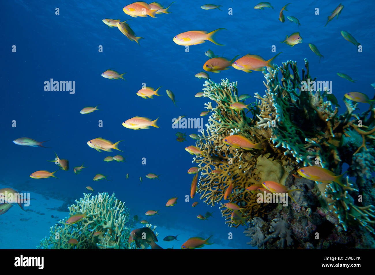 Jewel fairy basslet with Fire coral in background  Red Sea Egypt - Stock Image