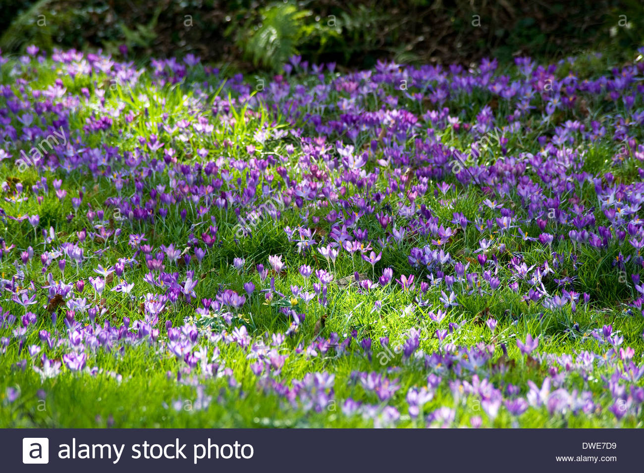 A sunny garden lawn in spring with a carpet of purple crocuses. - Stock Image