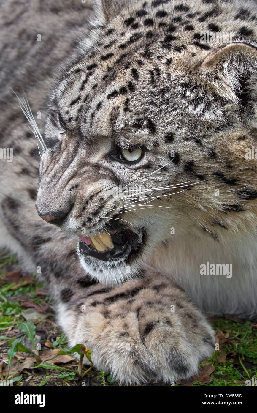 Growling Snow Leopard. - Stock Image