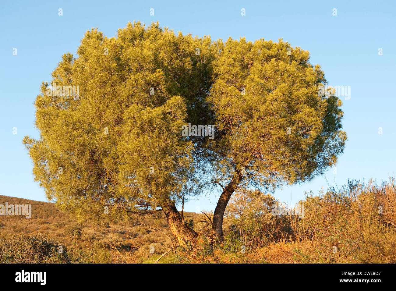 Pine Tree Pinus sp.  Andalucia Spain - Stock Image