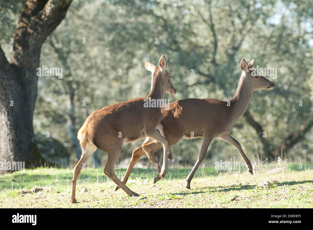 Red Deer Cervus elaphus Andalucia Spain - Stock Image