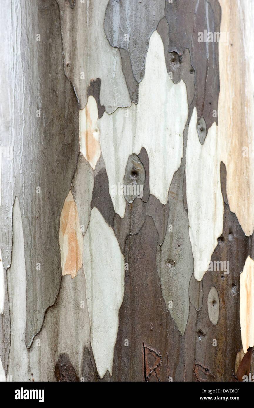 Close up of Eucalyptus Tree Bark Andalucia Spain - Stock Image