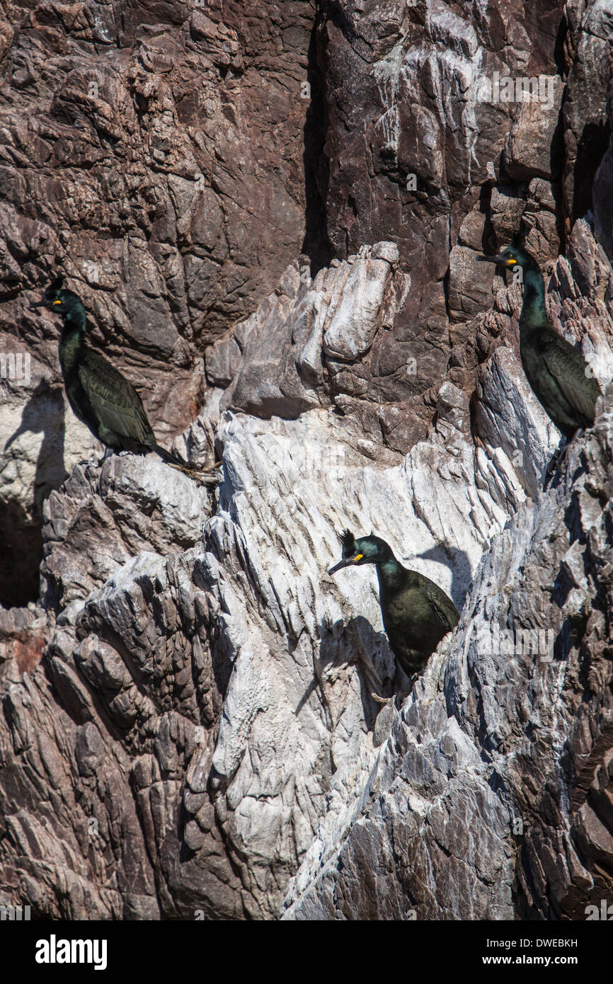 European Shag (Phalacrocorax aristotelis) on rocks at Findochty in Moray, Scotland. - Stock Image