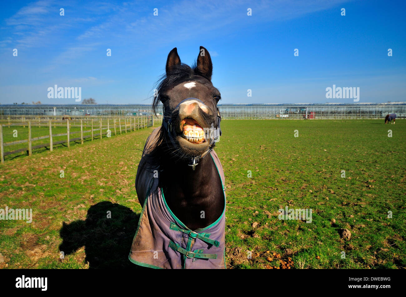 Black and white Arab horse with lip raised showing its teeth - Stock Image