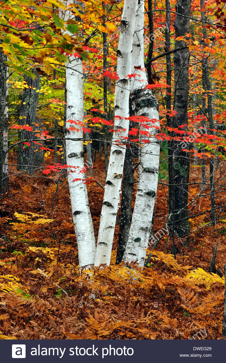 White Birch tree in Autumn, Manistee National Forest, Ludington, Michigan - Stock Image
