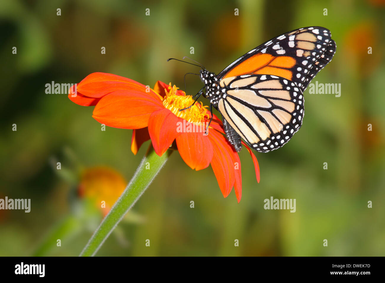 A Colorful Monarch Butterfly Nectaring On An Orange Flower With A Green Background, Danaus plexippus; Southwestern - Stock Image