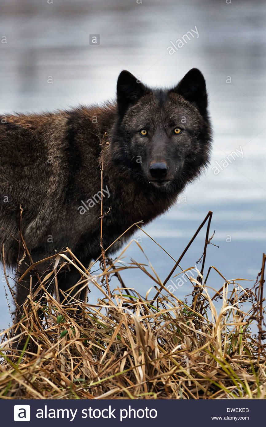 Gray wolves (Canis lupus) also called Timber Wolves. Captive animals. - Stock Image