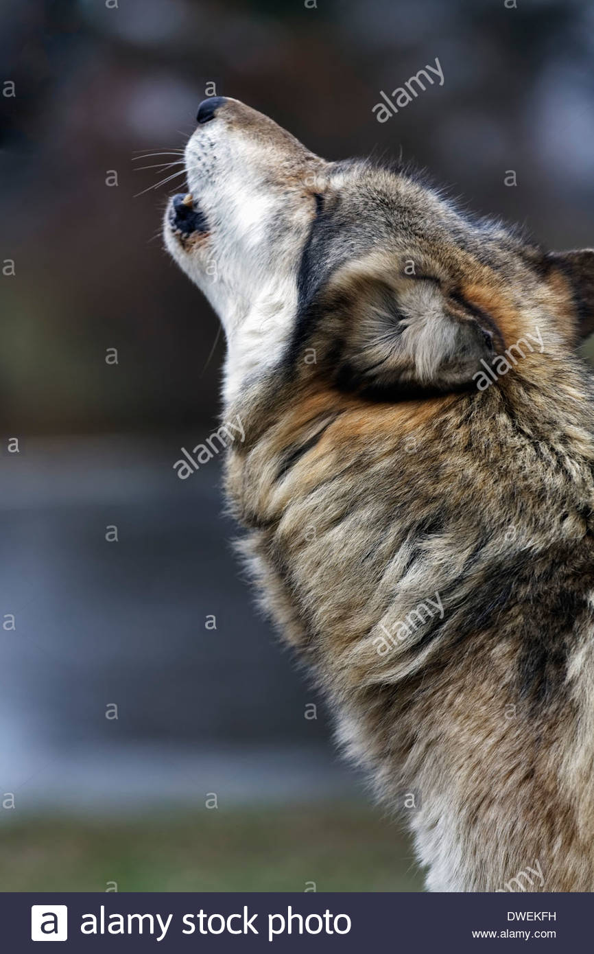 Timber Wolf Howling Stock Photos & Timber Wolf Howling ...