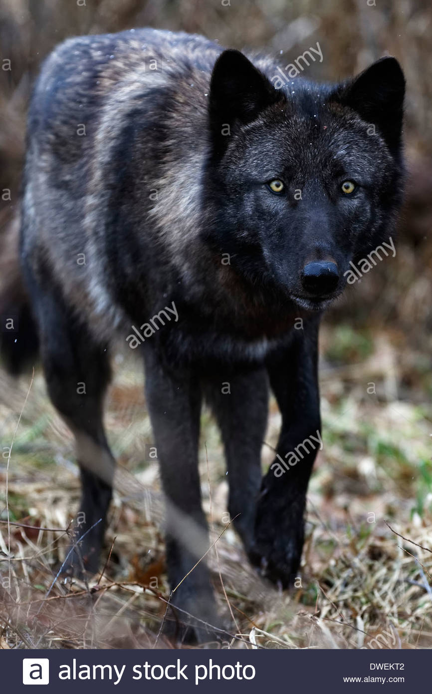 Gray wolf (Canis lupus) also called Timber Wolves. Captive animals. Stock Photo
