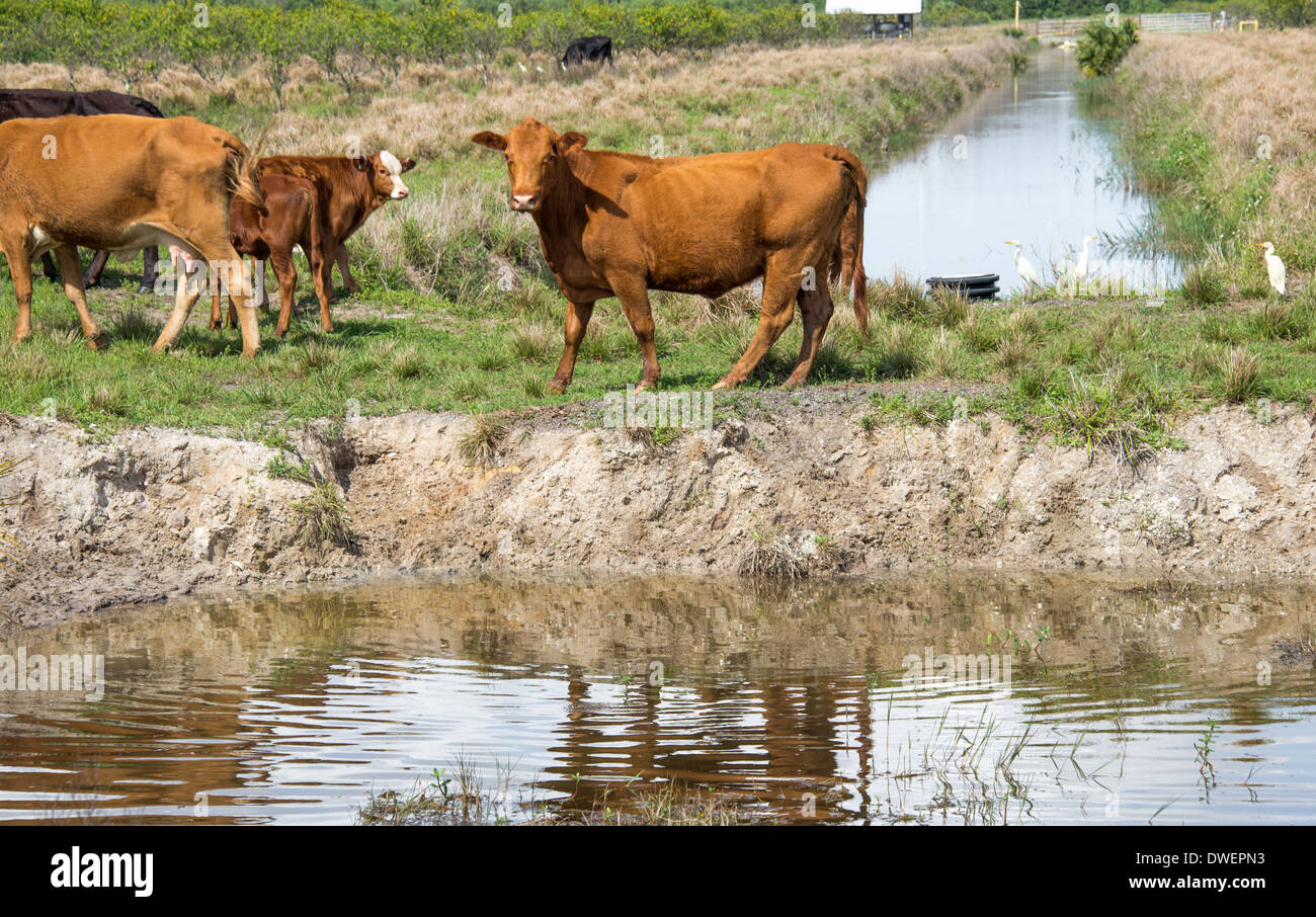 Cows and Cattle Egrets at a watering hole in Florida. Stock Photo