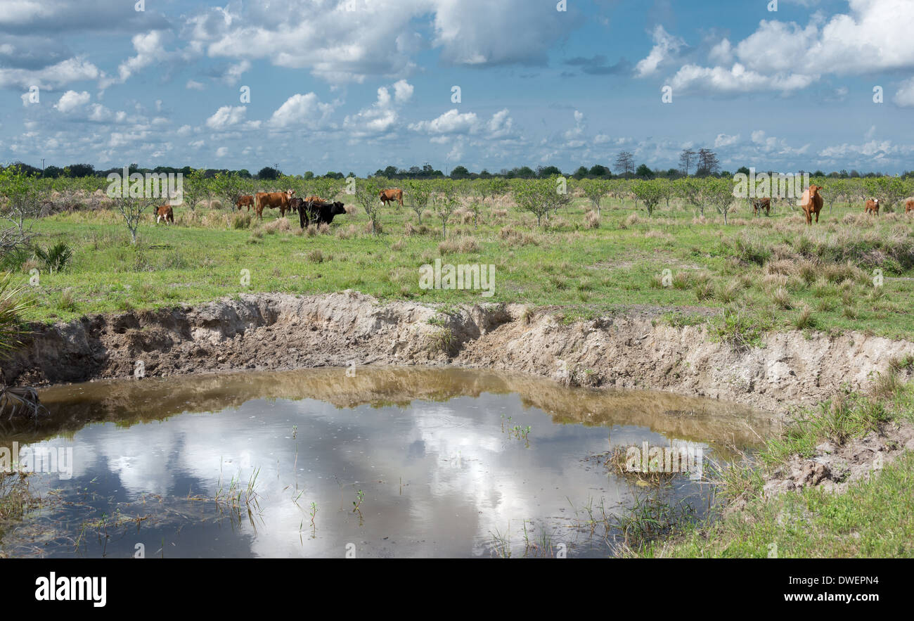 Watering Hole reflecting clouds with cattle in a Florida orange grove. - Stock Image