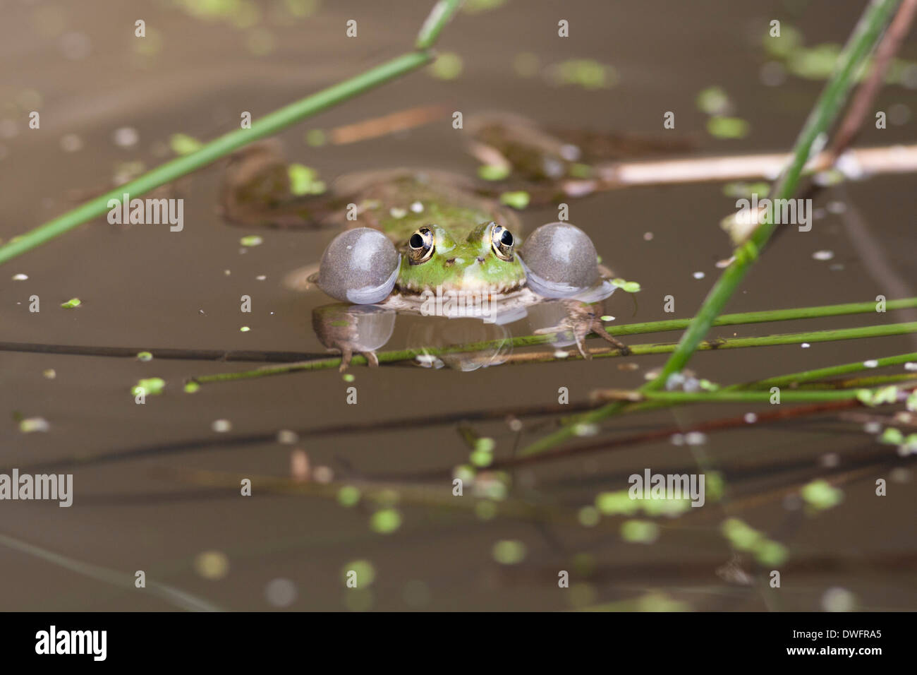 Marsh Frog - Stock Image