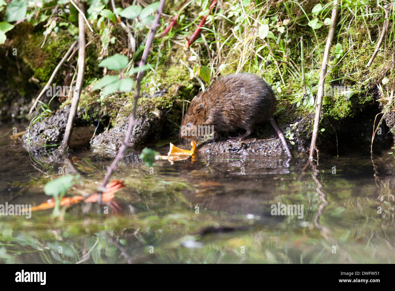European Water Vole in the UK - Stock Image