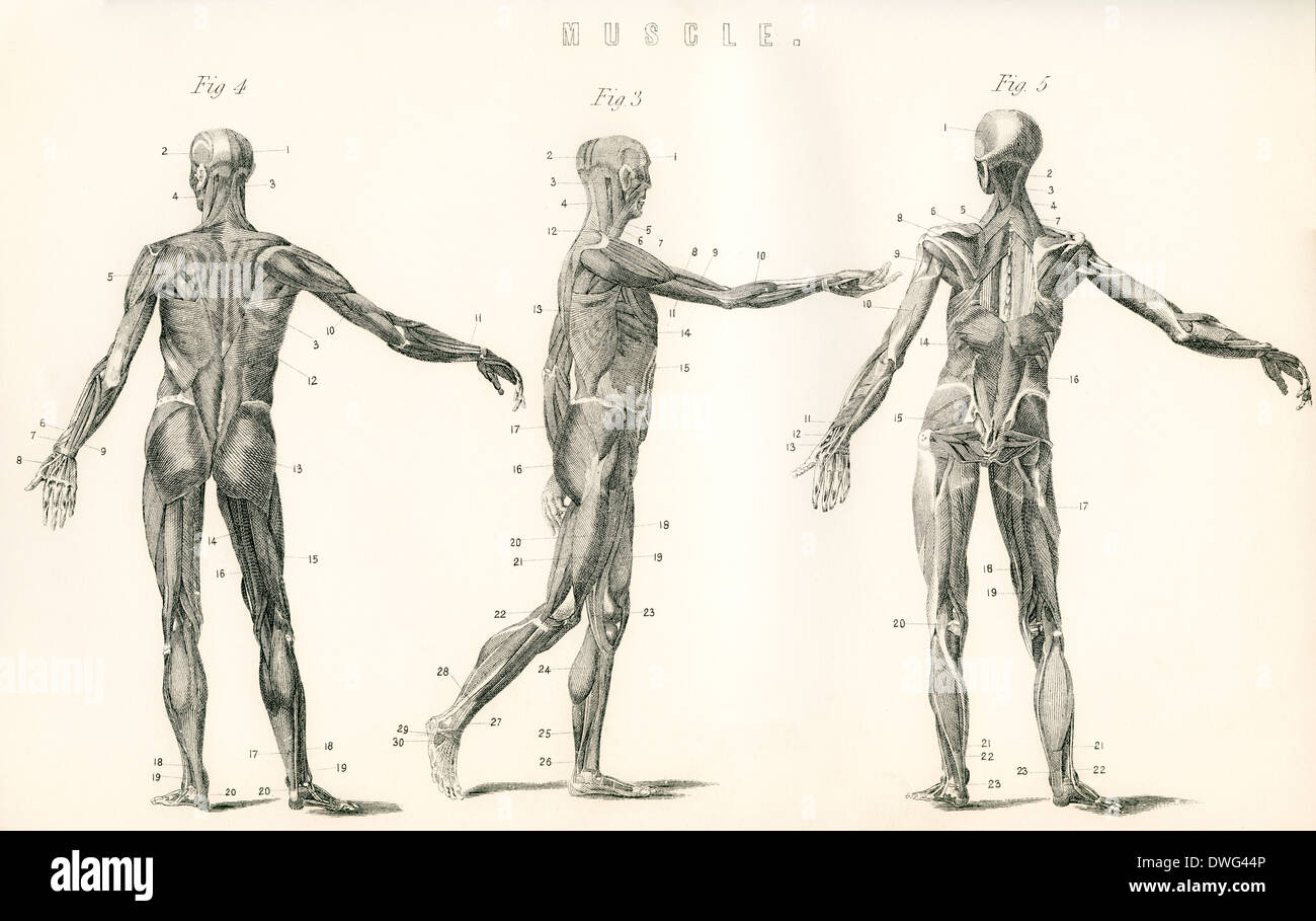 Anatomical Study Of Muscle In The Human Body Stock Photo 67352006