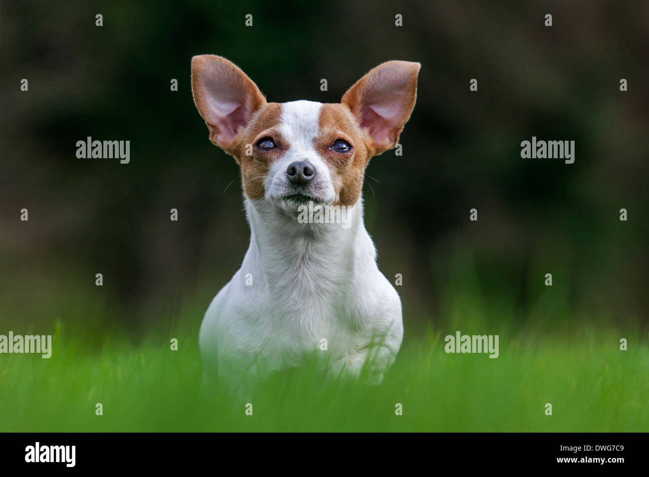Short-haired Chihuahua in garden - Stock Image