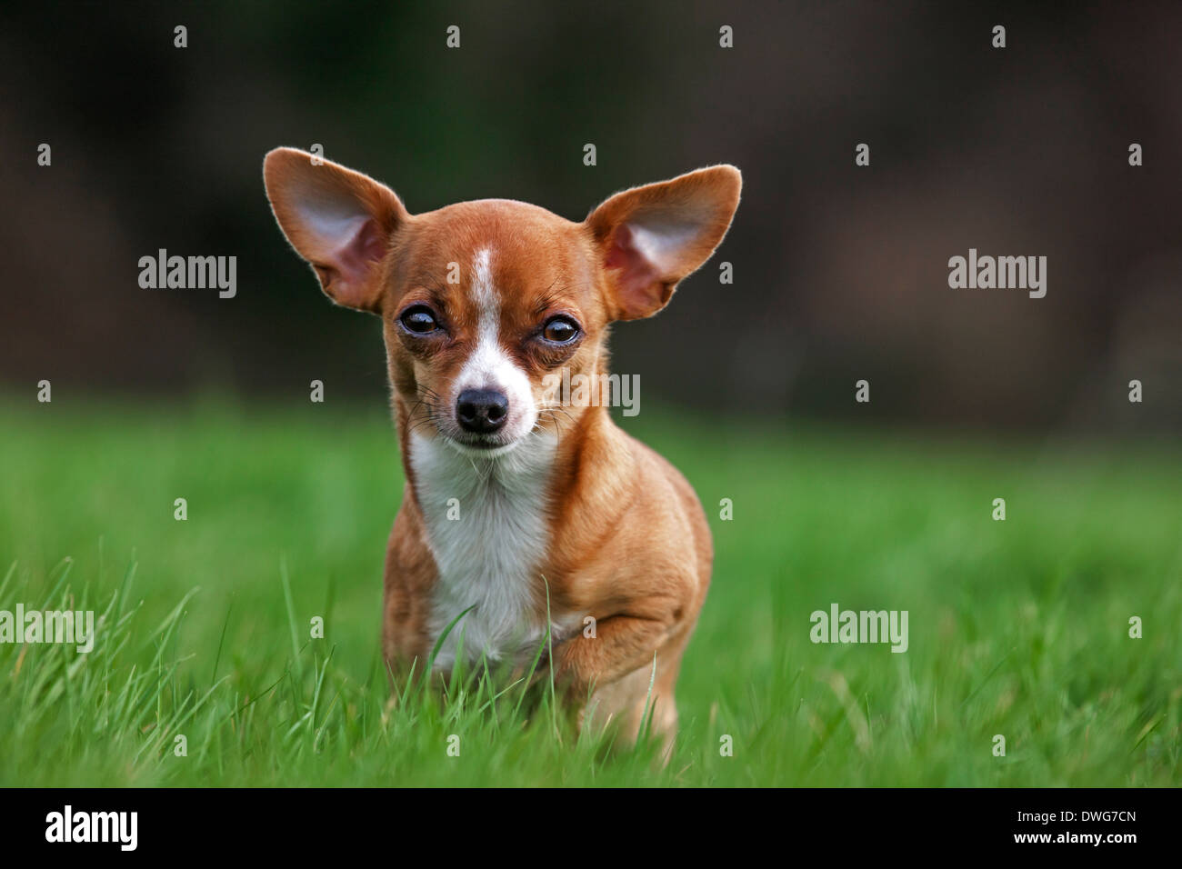 Short-haired tan Chihuahua in garden - Stock Image