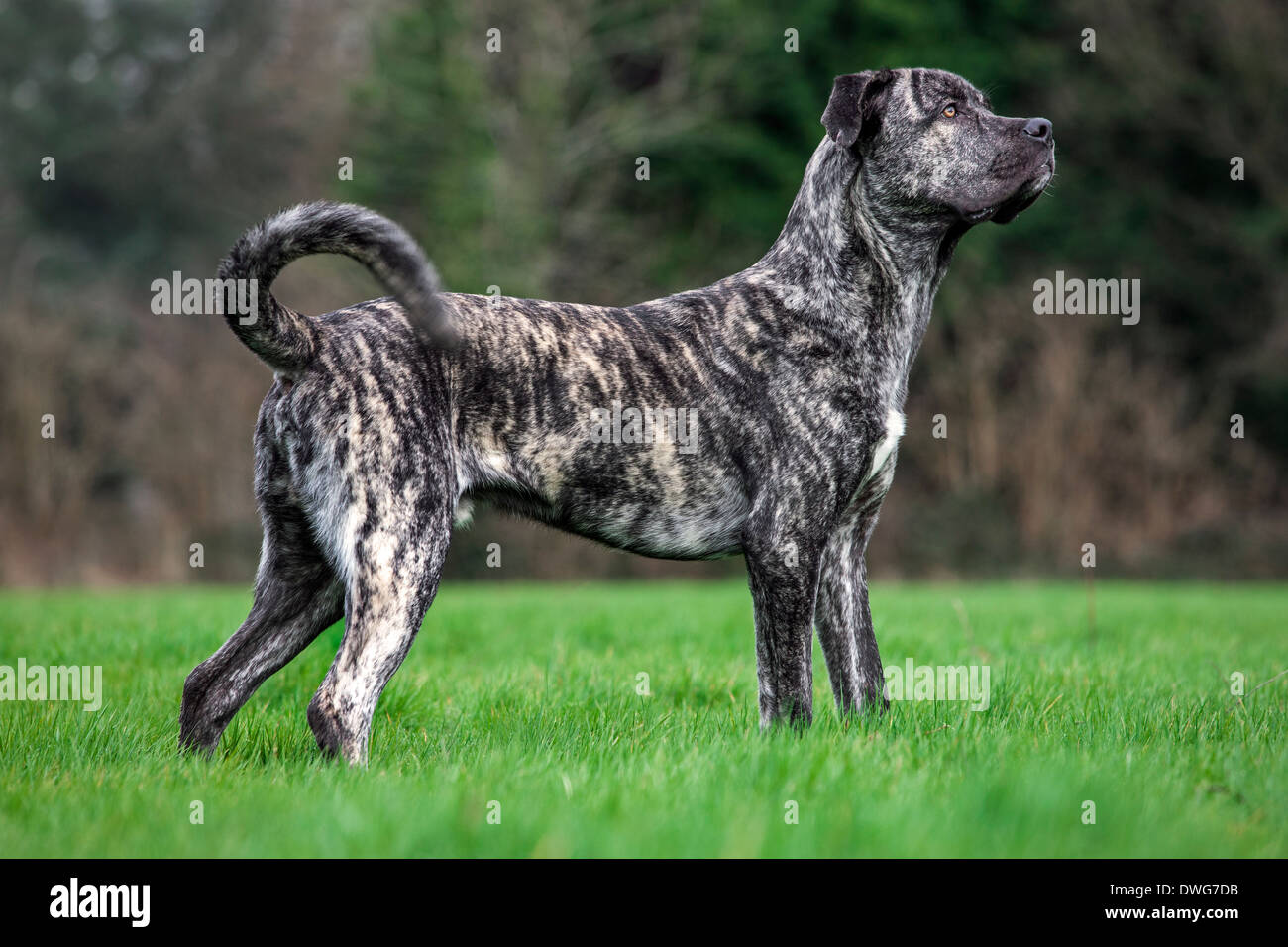 cane corso italiano stock photos cane corso italiano stock images