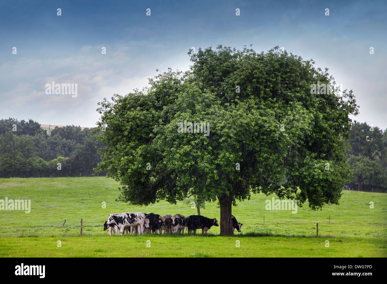 Cows looking for shelter under tree in field during downpour - Stock Image
