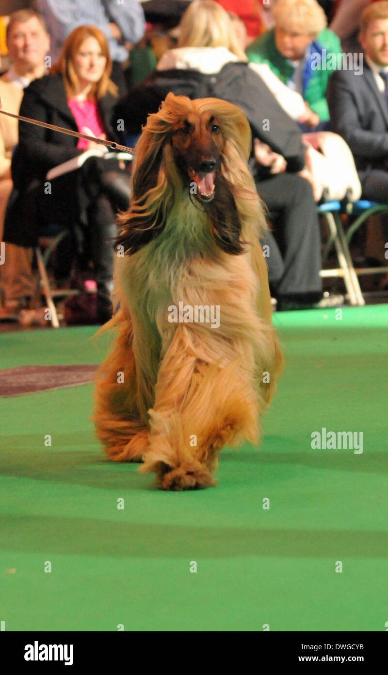 Birmingham, UK 7th March 2014, An assortment of pedigree dogs compete for the ultimate prize in dog competitions at Crufts, in Birmingham in the UK Credit:  Kelly Rann/Alamy Live News - Stock Image