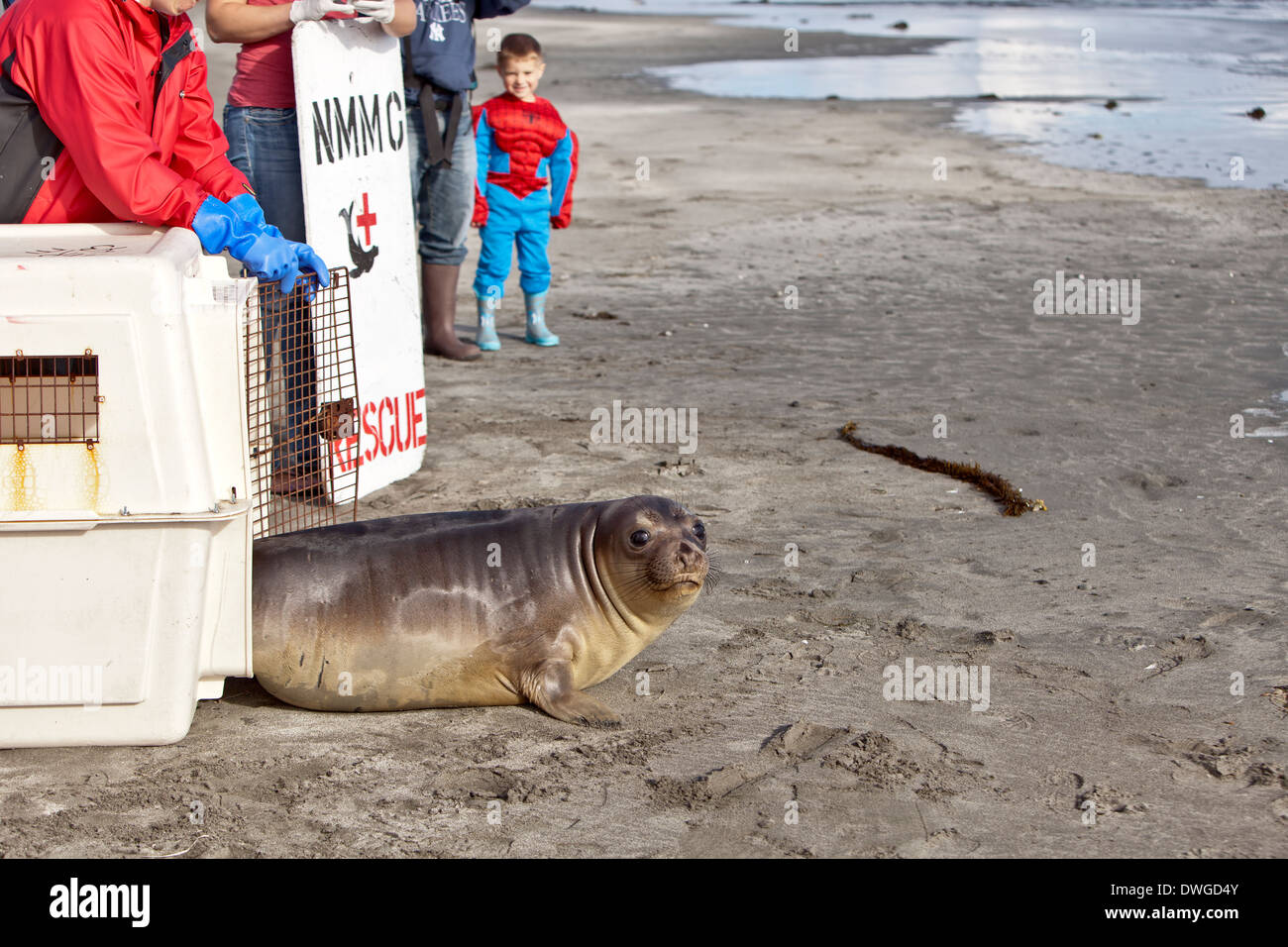 Releasing rescued & rehabilitated young elephant seal. - Stock Image