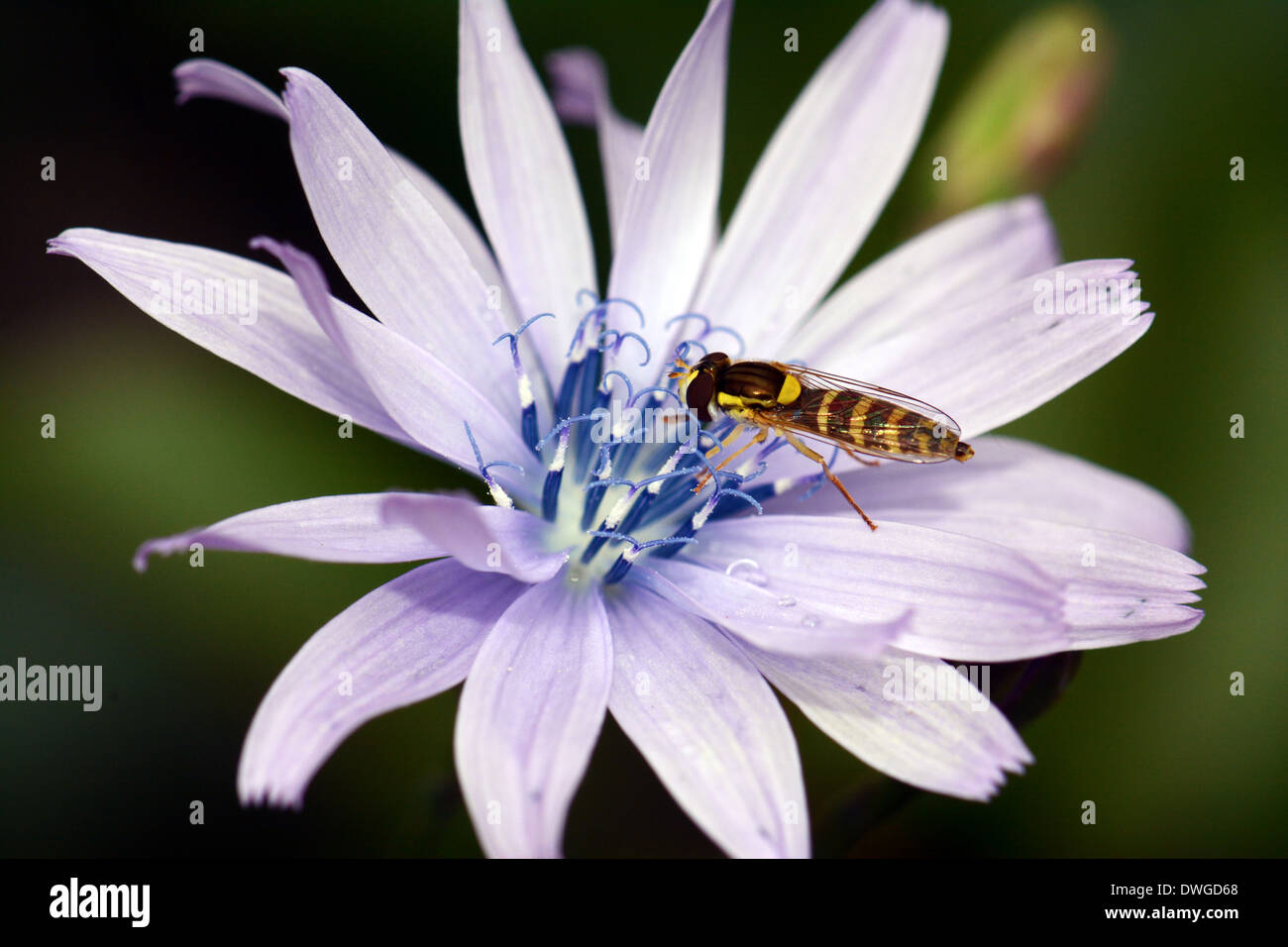 Hover fly on flower - Stock Image