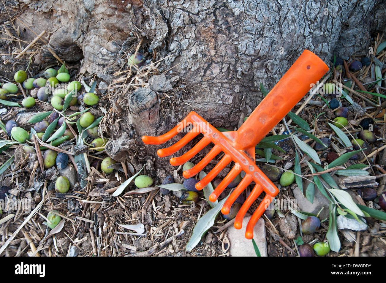 Olive harvesting tool - Stock Image