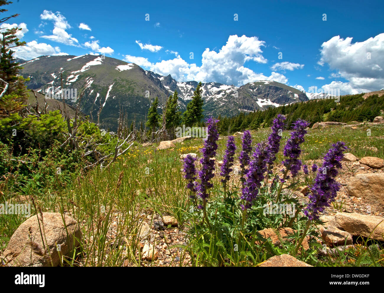 Purple-fringe wildflower in the  Rocky mountain National Park - Stock Image