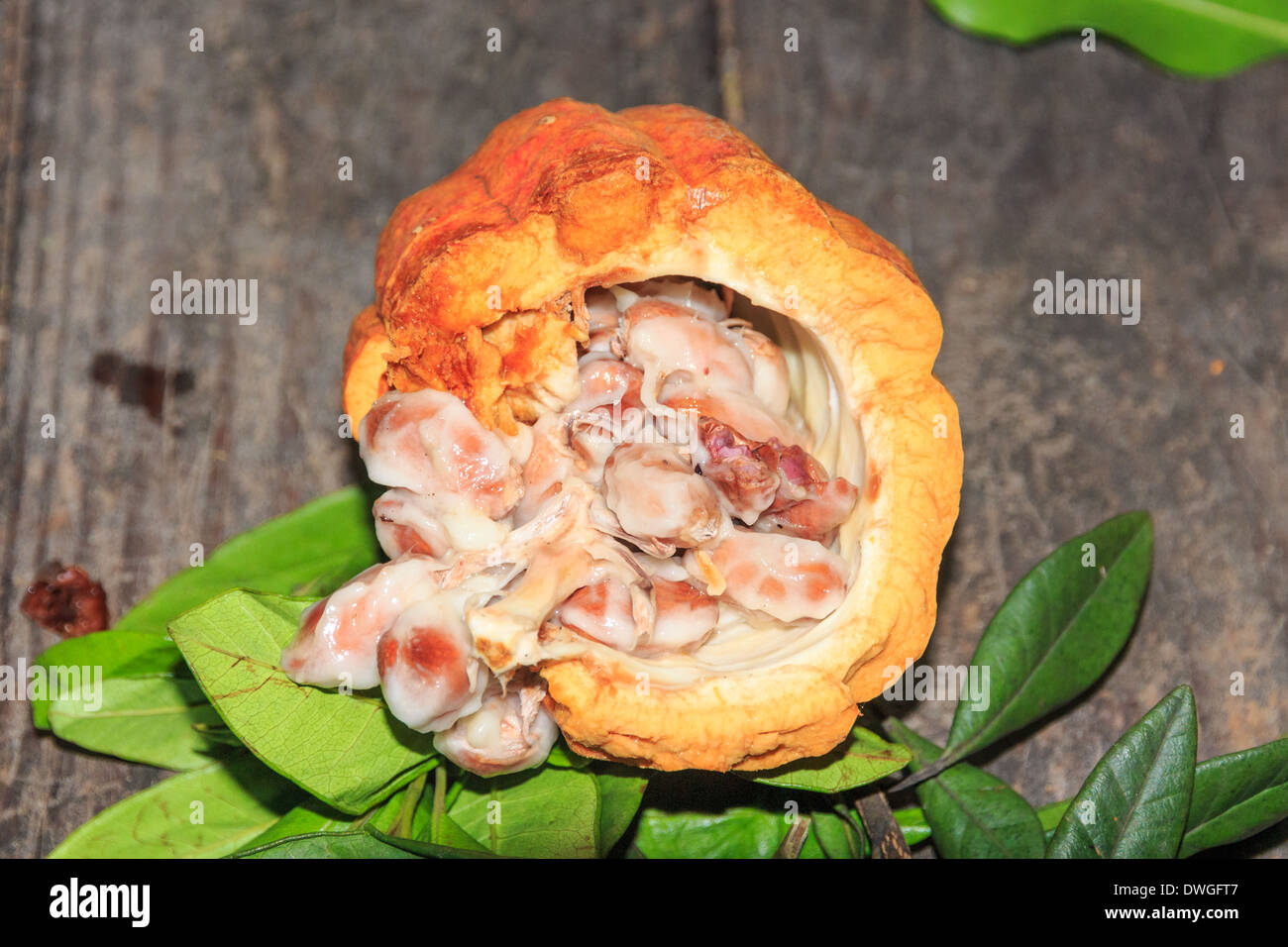 Fresh Cocoa Fruit (Opened / Close Up) - Stock Image