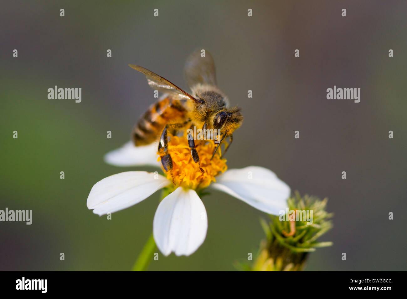 HONEYBEE (Apis mellifera) collecting pollen on Beggers Tick (Bidens alba), Fort Myers, Florida, USA. - Stock Image